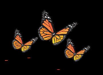 Daca Butterflies